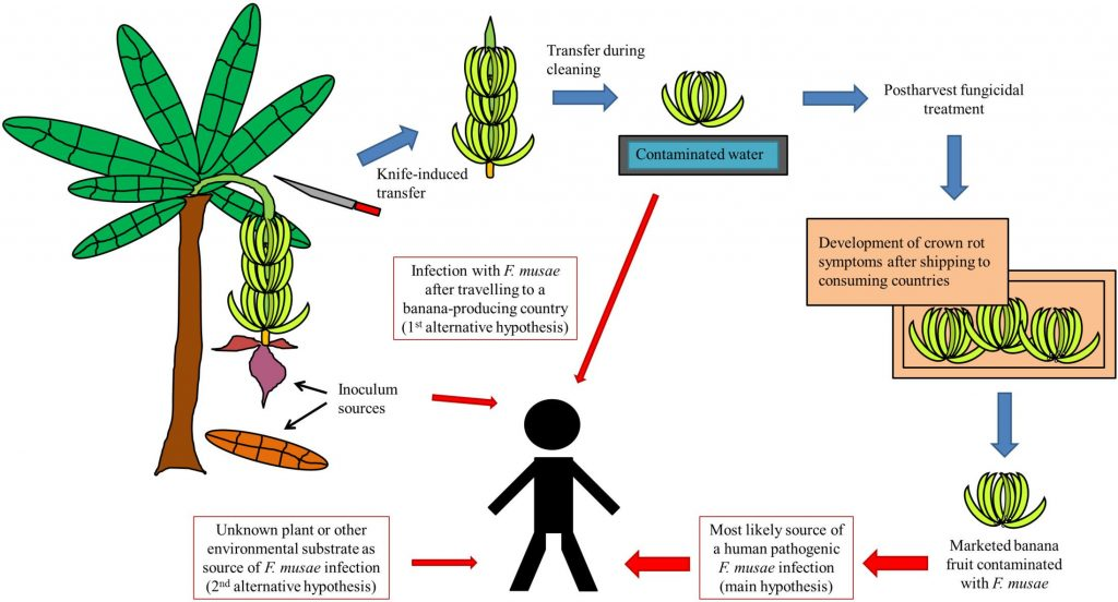 Triest D, Hendrickx M (2016) Postharvest Disease of Banana Caused by Fusarium musae: A Public Health Concern?